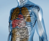 Colorful transparent digital body with organs — Stock Photo