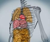 Digitale skelet met organen — Stockfoto