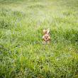 Stock Photo: Chocolate bunny hiding in grass