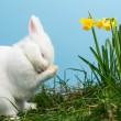 White fluffy bunny scratching its nose beside daffodils — Stock Photo