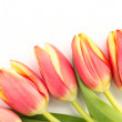 Close up of five blooming tulips on a white background — Stock Photo