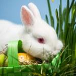 White rabbit resting on easter eggs in green basket — Stock Photo