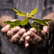 Close up of hands holding seedling in the rain — Stock Photo