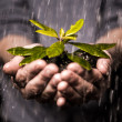 Close up of hands holding seedling in the rain - Stock Photo