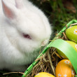 White bunny sitting beside easter eggs in green basket — Foto de Stock