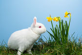 White fluffy bunny sitting beside daffodils — Stock Photo