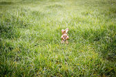 Chocolate bunny hiding in the grass — Stock Photo