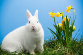 White fluffy bunny sitting beside daffodils with easter eggs — Stock Photo