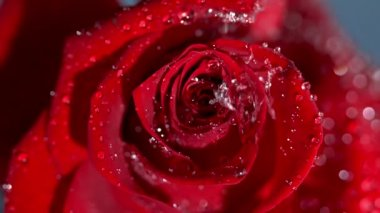 Close up of a raindrop falling on a red rose — Stock Video