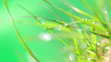 Dewdrop on grass — Stock Video