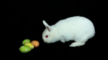 Fluffy white rabbit sniffing easter eggs — Stock Video