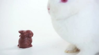 White bunny sniffing chocolate bunny — Stock Video