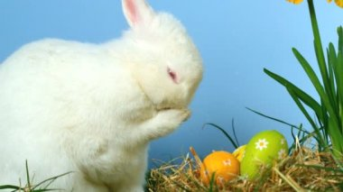 Cute fluffy rabbit scratching its nose with little easter eggs in front of him — Stock Video