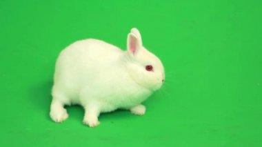 Fluffy white rabbit sniffing around him — Stock Video