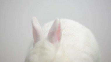 White bunny rabbit on white background — Stock Video