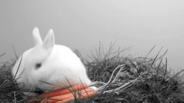 White bunny rabbit sniffing around the grass and a carrot — Stock Video