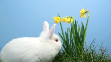White bunny rabbit sniffing around the grass with daffodils — Stock Video
