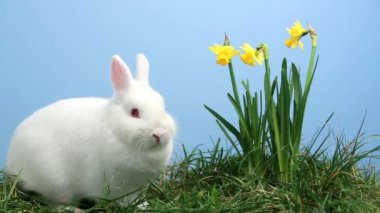 White bunny rabbit sniffing around the grass with yellow daffodils — Stock Video
