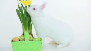 Easter bunny sniffing basket of eggs and daffodils — Stock Video