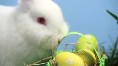 White bunny rabbit sniffing a basket of easter eggs in the grass — Stock Video