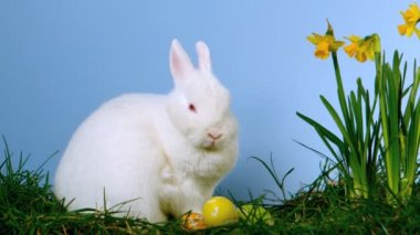 Fluffy white bunny sniffing easter eggs besides daffodils — Stock Video