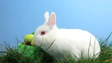 White bunny rabbit sniffing around the grass and basket of easter eggs — Stock Video