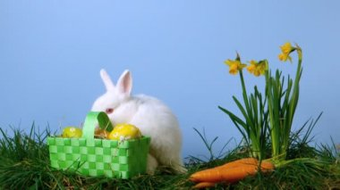 Cute white rabbit sniffing easter eggs in a basket besides daffodils — Stock Video