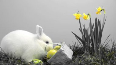 White bunny rabbit sniffing around the grass with yellow daffodils and basket of easter eggs — Stock Video