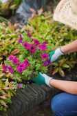 A woman is working in the garden — Stock Photo