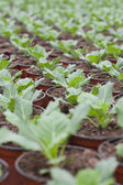 Potted plants in rows — Stock Photo