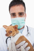 Worried male vet holding chihuahua — Stock Photo
