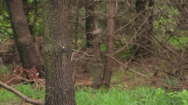 Fit brunette exploring a wooded area — Stock Video