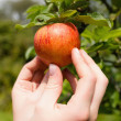Hand touching apple on a tree — Stock Photo
