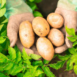Hands presenting organic fresh potatoes — Foto Stock