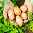 Hands presenting organic fresh potatoes — Stock Photo