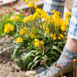 Woman planting a yellow flower — Stock Photo