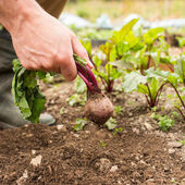 Man pulling fresh beetroot out of the ground — Stock Photo