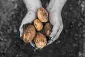Hands presenting freshly dug potatoes — Stock Photo