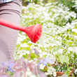 Woman watering flowers with red watering can — Stockfoto