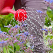 Woman watering her flower bed with red watering can — Stock Photo