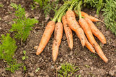 Some carrots lying on the ground — Stock Photo