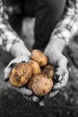 Farmers hands showing freshly dug potatoes — Stock Photo