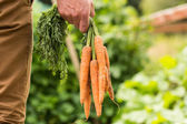 Man holding bunch of organic carrots — Stock Photo