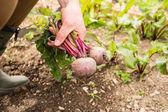 Man gathering some beetroot — Stock Photo
