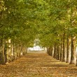 Walkway along lined trees in park — Stock Photo #36243535