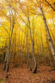Trees in the autumnal forest — Stock Photo