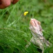 Lizard eating a buttercup flower — Stock Video
