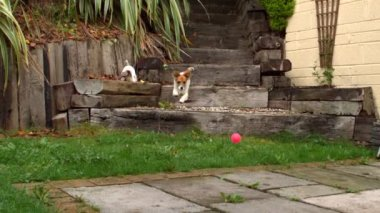 Dog running down steps and chasing a ball in the garden — Stock Video