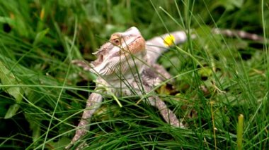 Bearded dragon eating a buttercup flower on the grass — Stock Video