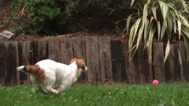 Dog chasing a ball in the garden — Stock Video
